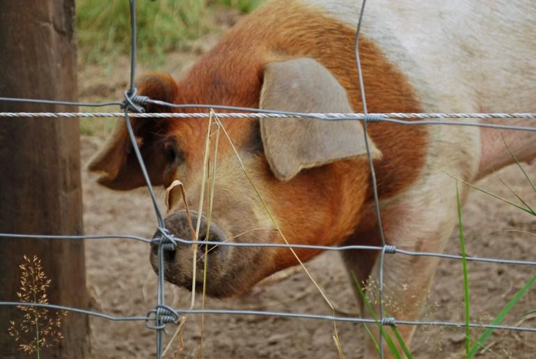 Gründe weniger tierische Produkte zu essen, vegan warum, vegan Argumente, warum auf Fleisch verzichten, warum veganer werden