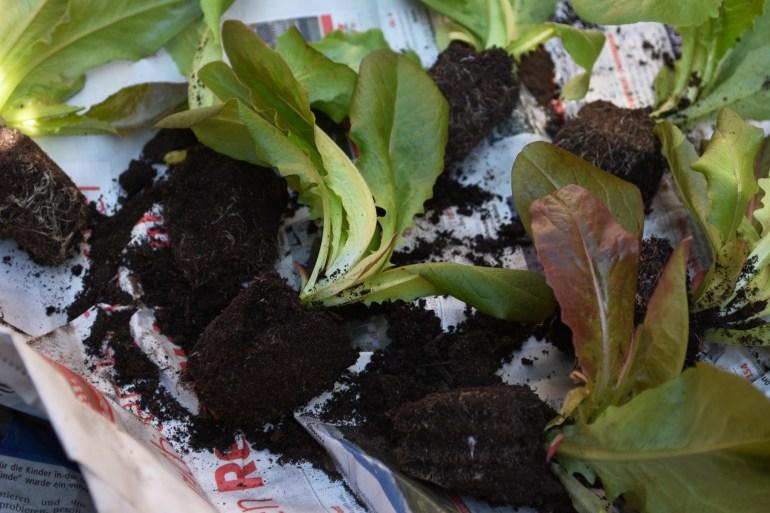 Eigenes Gemüse anbauen, Gemüse ohne Garten anbauen, Eigenes Gemüse pflanzen, Salat anbauen, Urban Gardening