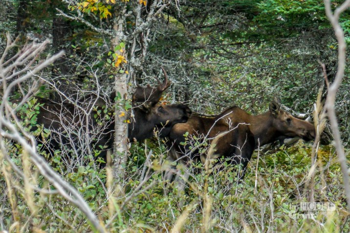 THGJ Cabot Trail -Moose
