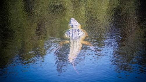 THGJ Everglades American Crocodile - 0004
