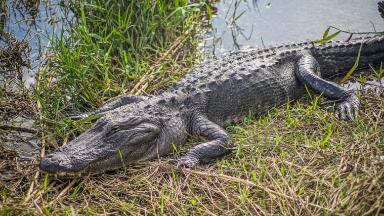 THGJ Everglades Anhinga Trail - 0011