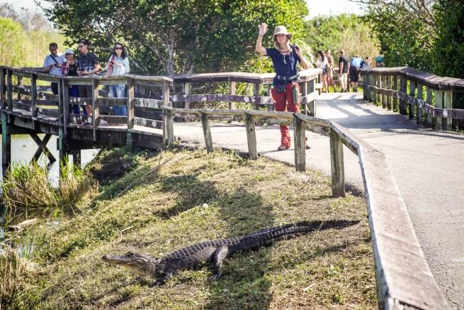 Alligator Encounter