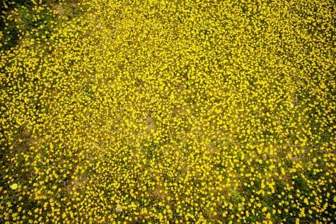 THGJ California Wild Flowers - 0001