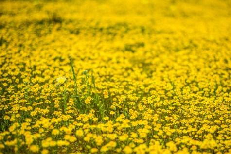 THGJ California Wild Flowers - 0002