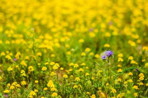 THGJ California Wild Flowers - 0004