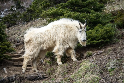 Mt Ellinor Hike And Mountain Goats - 0001
