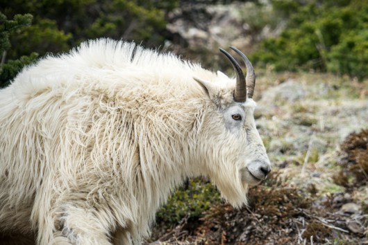 Mt Ellinor Hike And Mountain Goats - 0002