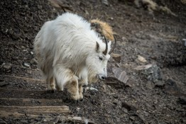 Mt Ellinor Hike And Mountain Goats - 0009