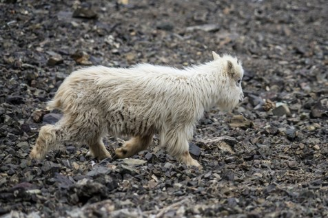 Mt Ellinor Hike And Mountain Goats - 0010