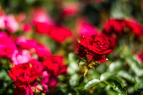 Stanley Park Rose Garden - 0001