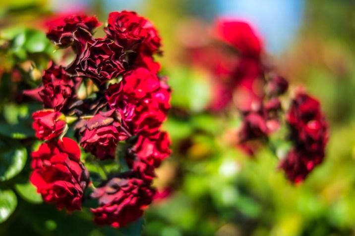 Stanley Park Rose Garden - 0006