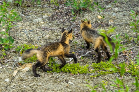 Top Of The World Highway Foxes - 0002