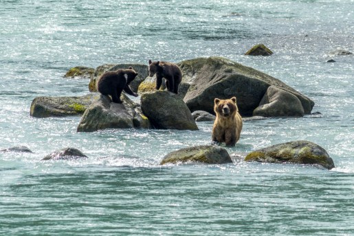 Haines Grizzly Bear - 0011