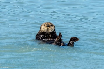 Sea otters - 0002