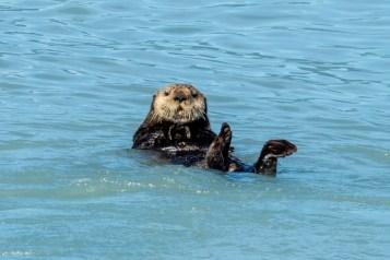 Sea otters - 0002