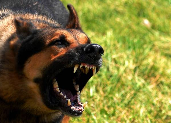 angry-german-shepard