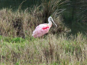 or a roseate spoonbill