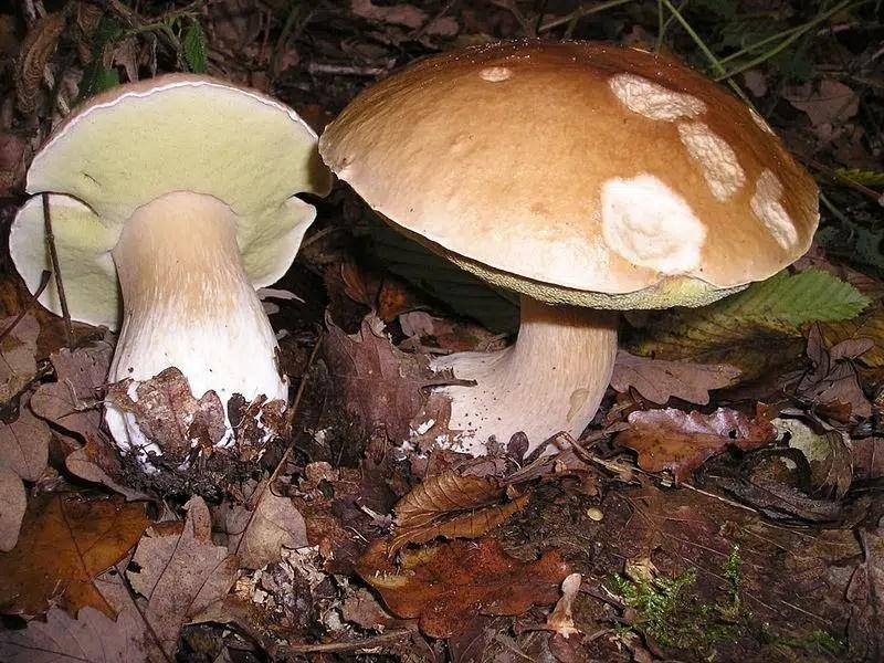 King Boletes Mushrooms