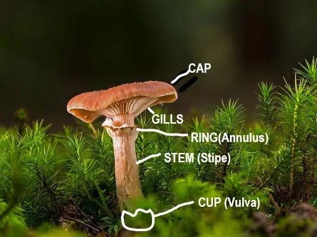 mushroom cap & anatomy