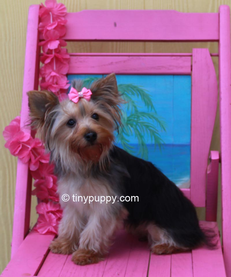 How To Cut A Yorkie S Hair At Home Makeupsite