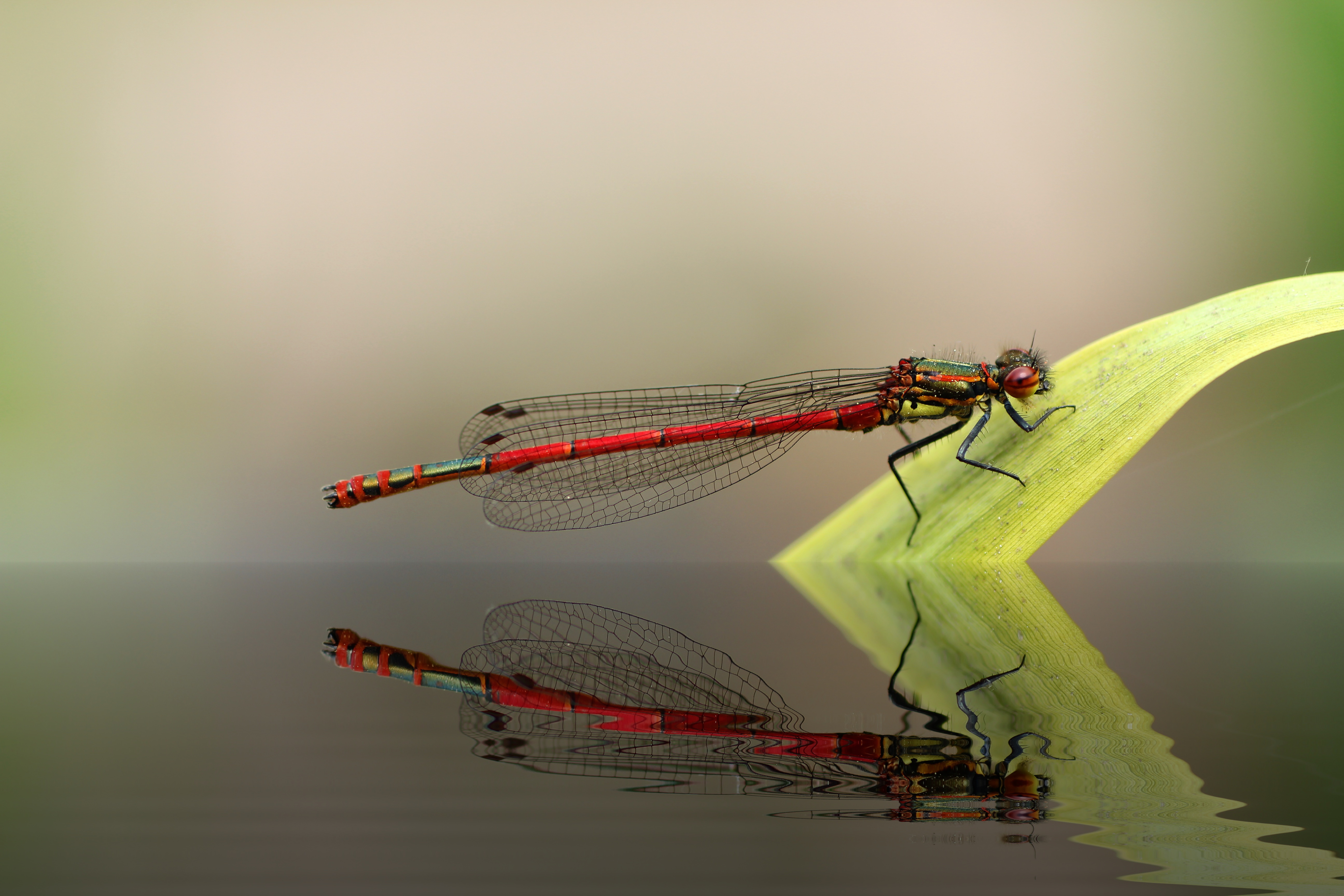 dragonfly, adonis dragonfly, insect