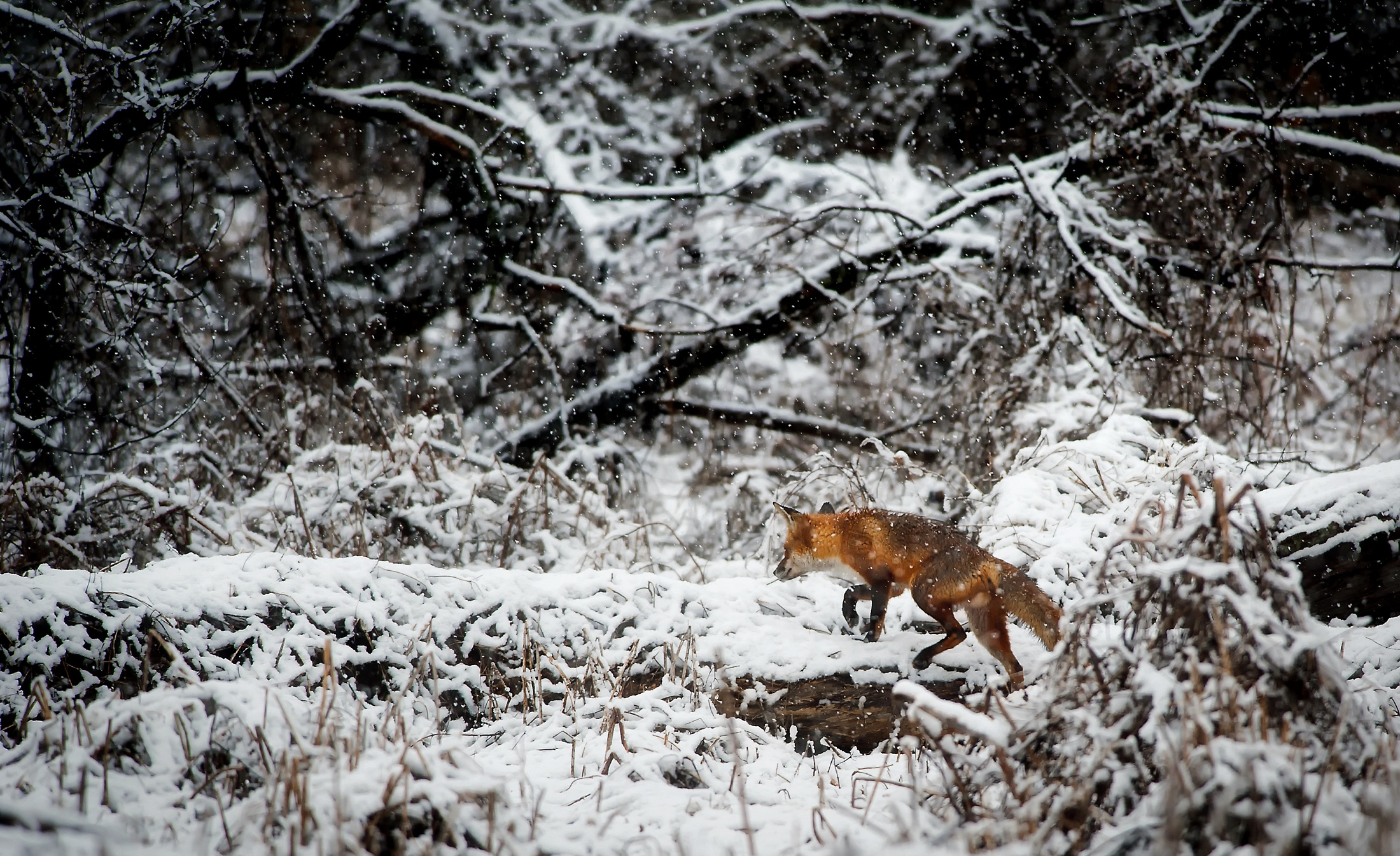 landscape, fox, animal