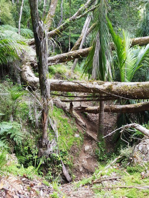 Te Araroa Trail forest