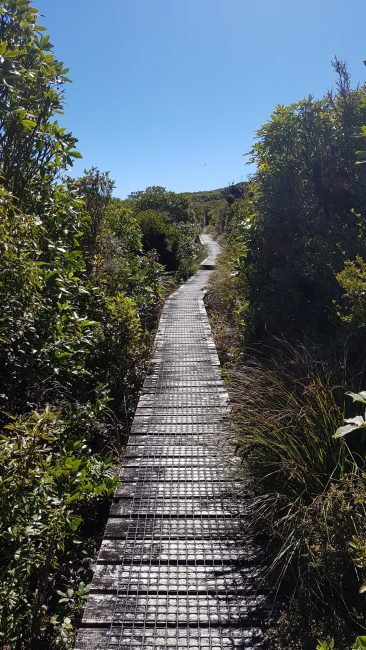 Te Araroa Trail Day 41 - Boardwalk section on Mount Pureora