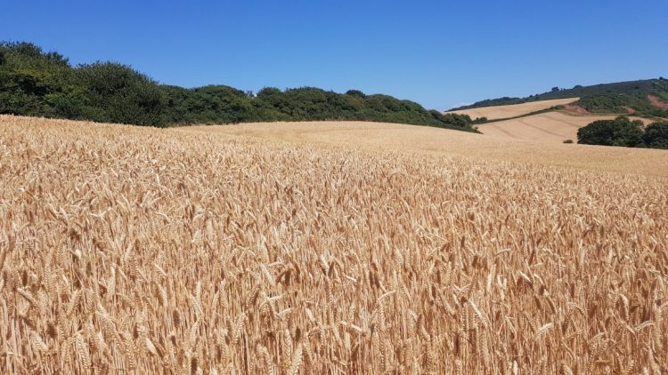 Golden fields of barley