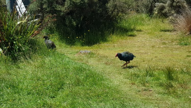 Takahe at Gouland Downs hut - Heaphy Track