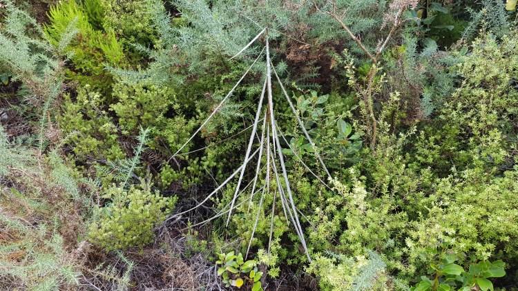 A baby Lancewood tree