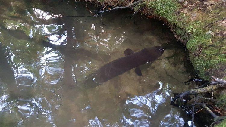Large eel at Nydia Bay