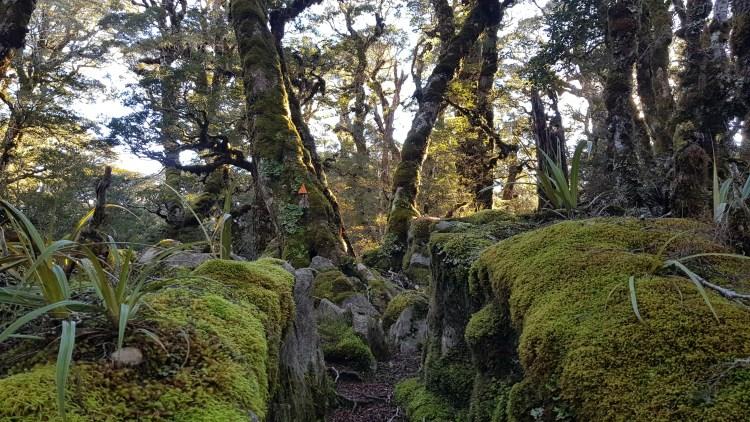 Beautiful mossy forest between Gordons Pyramid and Salisbury hut