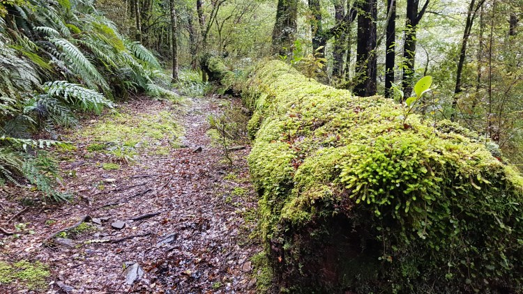 Mossy fallen trees on the Big River Track