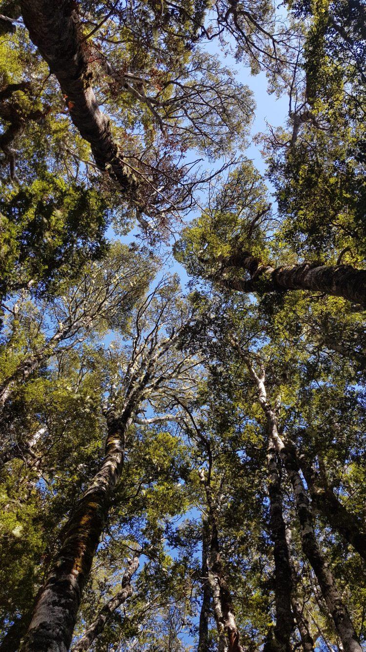 Mt Misery track treetops