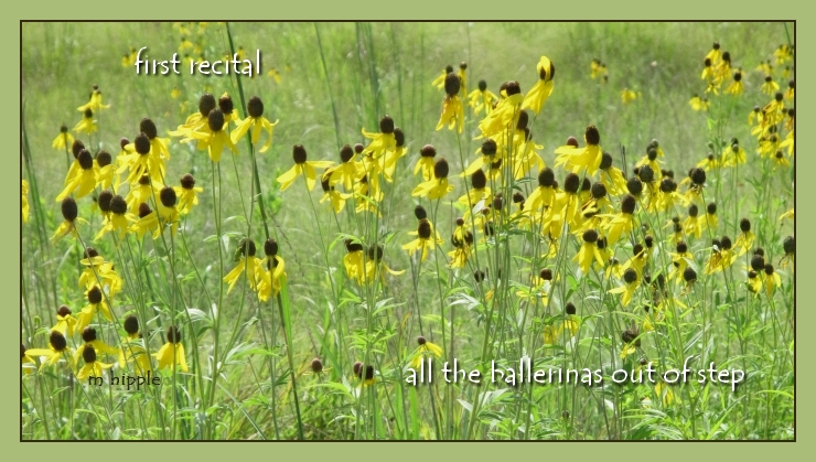 first recital / all the ballerinas out of step (photo of black-eyed Susans)