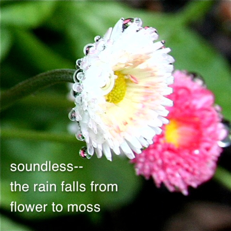 haiga by Cindy Zackowitz: soundless— the rain falls from flower to moss