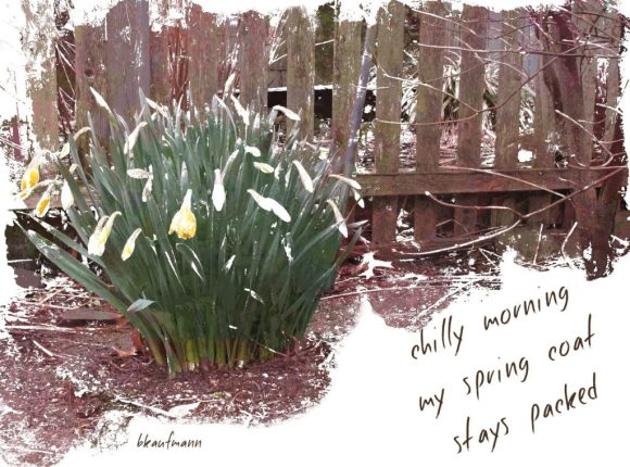 Haiga showing daffodils in snow beside a wooden picket fence