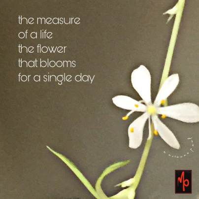 image of a white flower with six petals and a narrow green stem, against a brown background with the words of the haiga: the measure of a life the flower that blooms for a single day