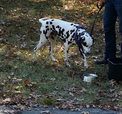 Dalmation puppy.