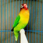 Kicau Lovebird 20