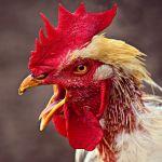 Tips Pemberian Vaksi Untuk Ayam Jago Kesayangan Anda