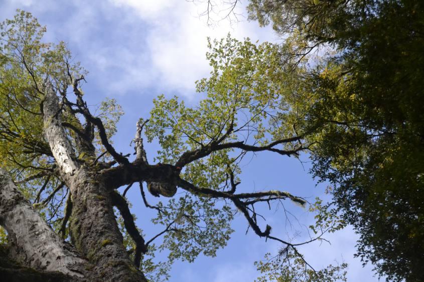 Picchio nel Parque Huerquehue sentiero Los Lagos a Pucon in Cile