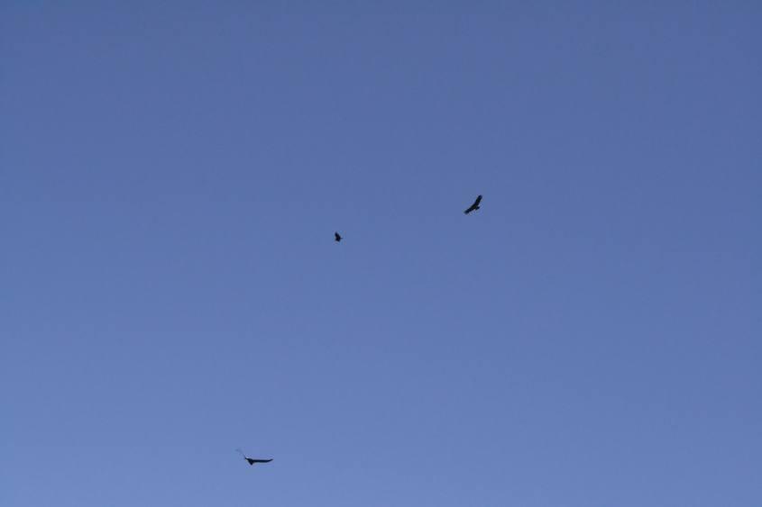 i Condor che planano visti dalla Cruz del Condor nel Canyon del Colca