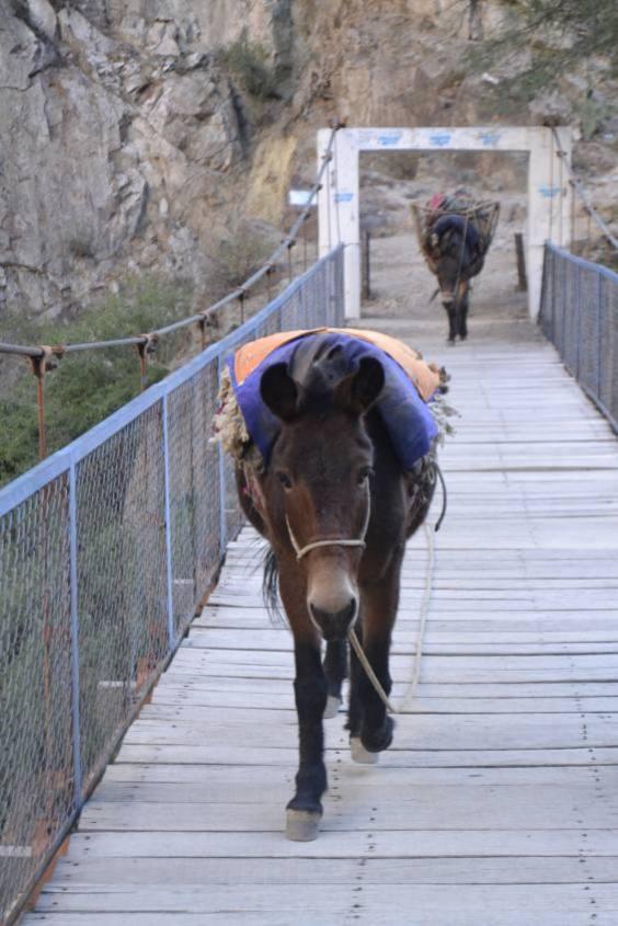 Asini nel Canyon del Colca