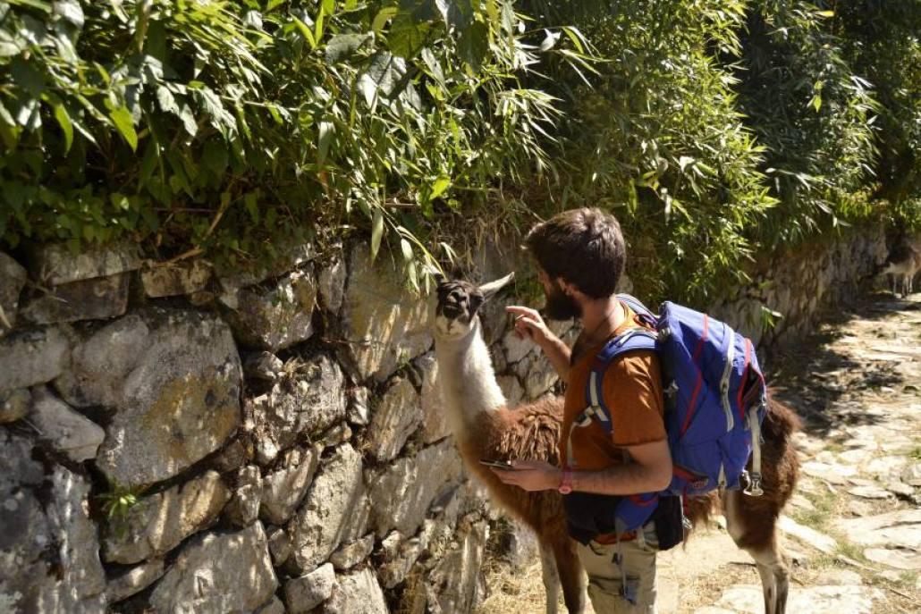 Incontri con i lama di Machu Picchu