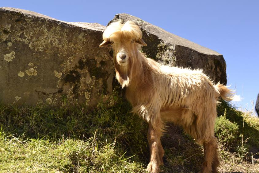 Capra incontrata a Pisaq durante il tour del Valle Sagrado da Cusco