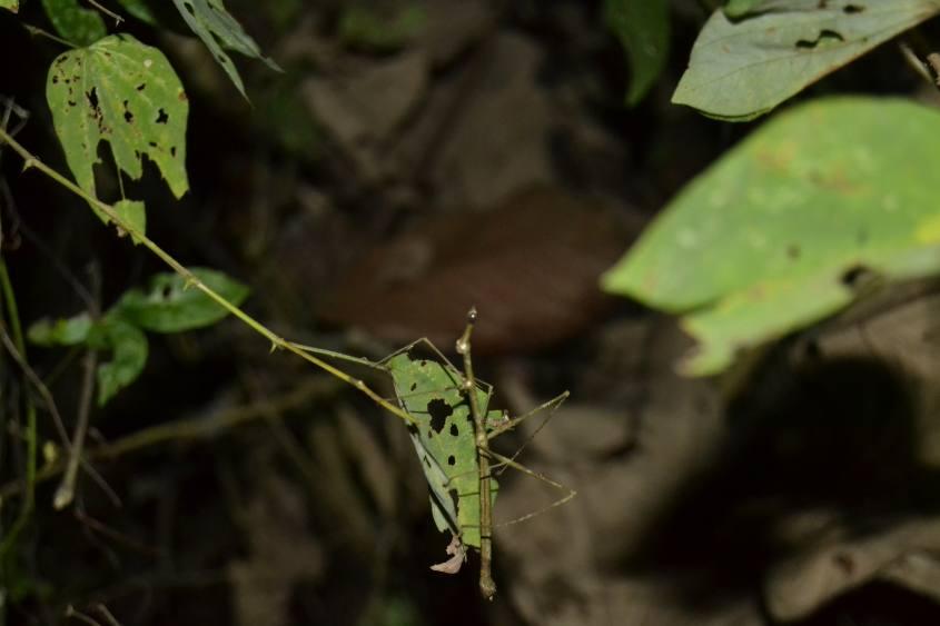 Insetto stecco trovato durante la visita notturna nella Foresta Amazzonica del Perù