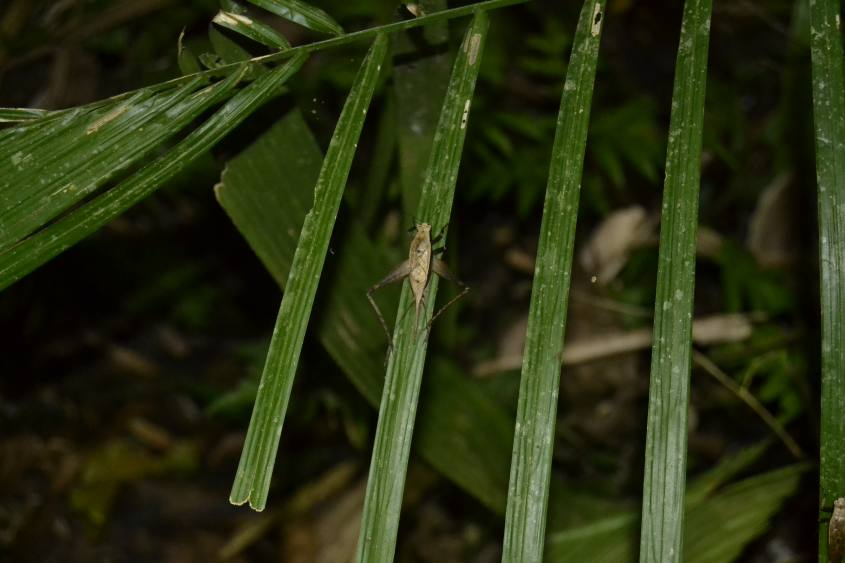 Grillo trovato durante la visita notturna nella Foresta Amazzonica del Perù