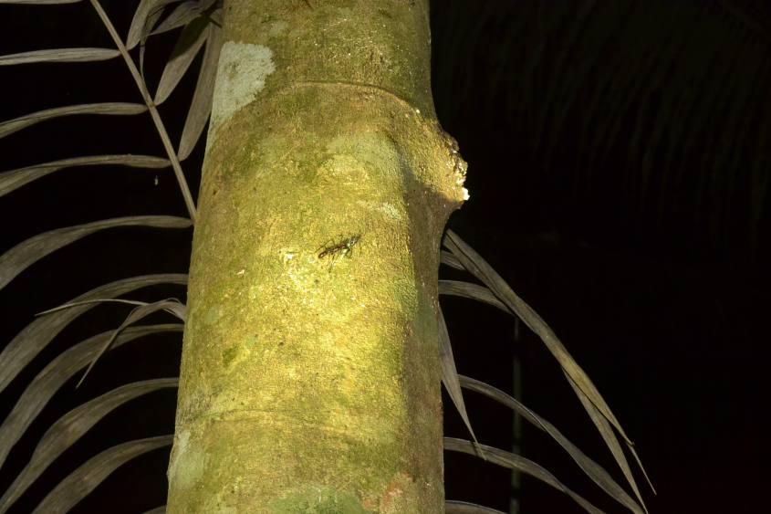 Formica gigante trovata durante la visita notturna nella Foresta Amazzonica del Perù